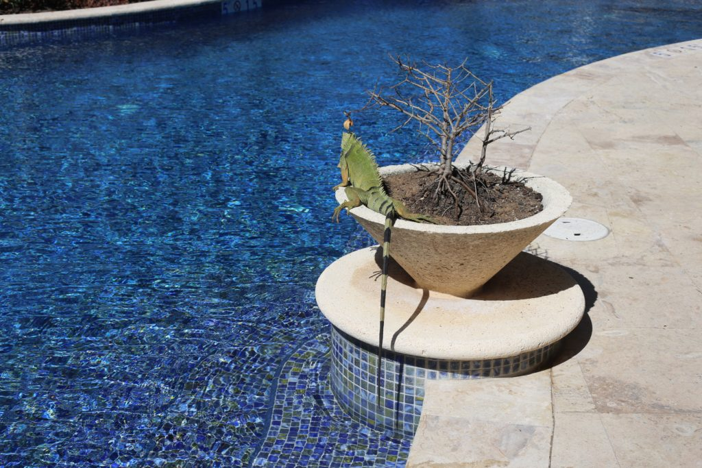 Connecticut life and style blogger, Pinteresting Plans recaps tips & highlights from a recent vacation at the St. Regis Bahia Beach Resort on Puerto Rico. iguana at the pool at the st. regis Bahia beach resort